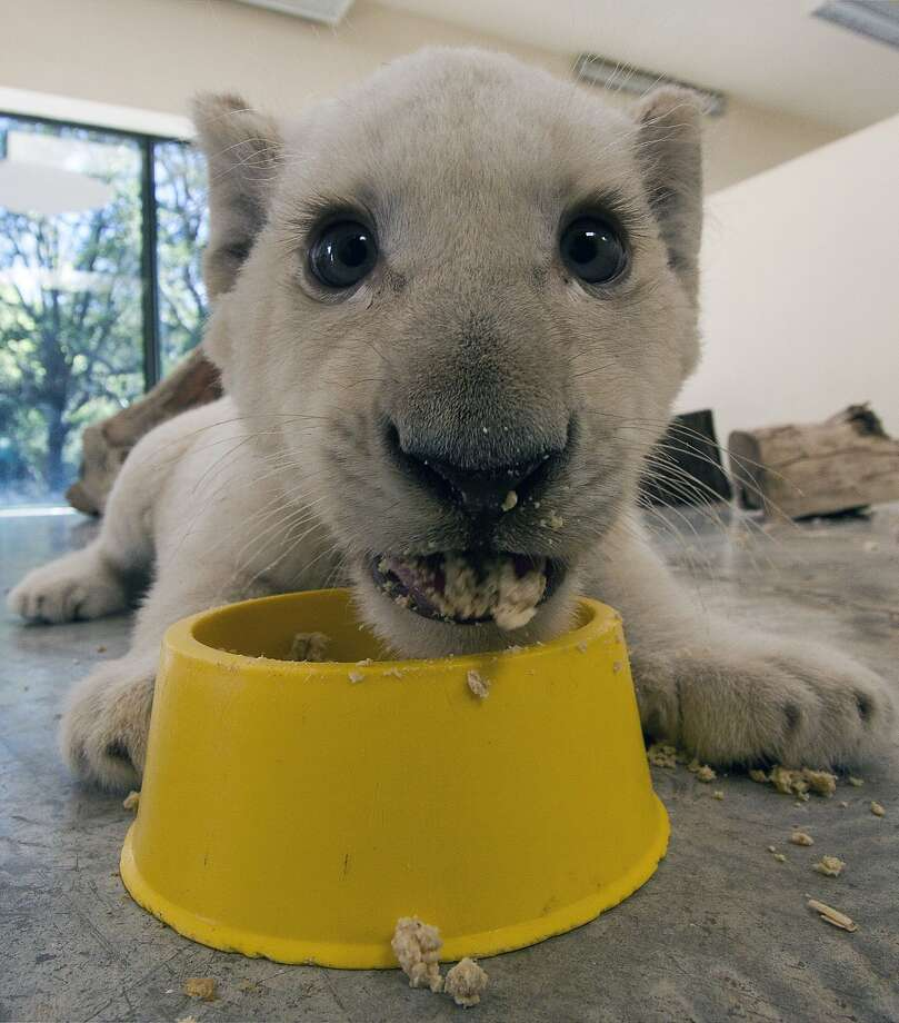 I'm still getting used to solid food, OK?  Some keeps falling out of my mouth. Especially when I'm distracted by a camera pointing in my face. (Three-month-old white lion cub, Guadalajara Zoo in Mexico.) Photo: Hector Guerrero, AFP/Getty Images