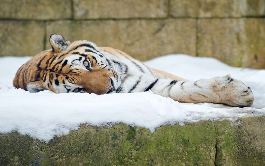 Stripes in the snow:Some residents of the Hanover Zoo in Germany sleep better in the cold, even when the bed is frozen solid. Photo: Christoph Schmidt, AFP/Getty Images
