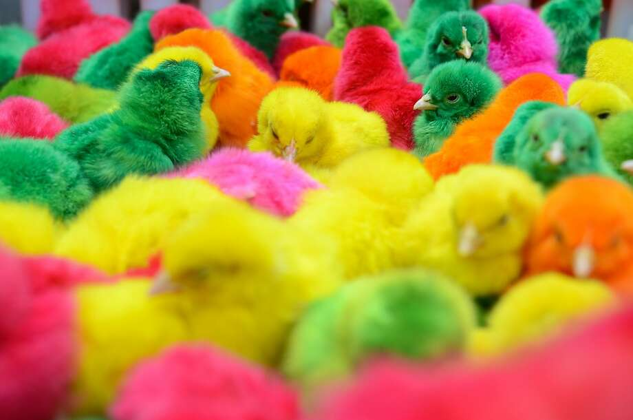 Cheap! Cheap! Chicks dyed like Easter eggs are offered for sale in Manila's Chinese district of Binondo. Photo: Dondi Tawatao, Getty Images