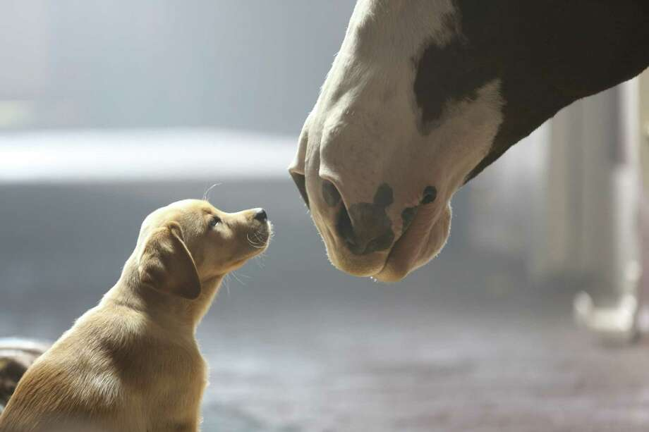 "The Budweiser Clydesdales are featured in the ""Puppy Love"" ad. The Clydesdale ad again features an area actor playing a trainer for the horses. / MCT"