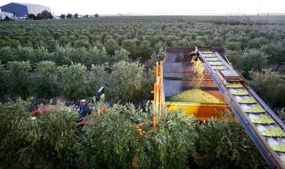 California: Fresh picked olives make their way onto a conveyor belt, landing into a gondola, pulled by a tractor at California Olive Ranch in Artois. Photo: Mel Melcon, McClatchy-Tribune News Service