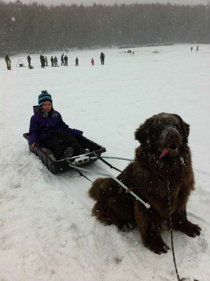 Jennifer Brown, 11, of Guilderland goes on a Newfoundland Dog Sled Ride at Grafton Lakes State Park?s Winterfest 2014. ?She had a great time at the winter festival despite the freezing temps,? her mom, Sue, said. (Sue Brown)