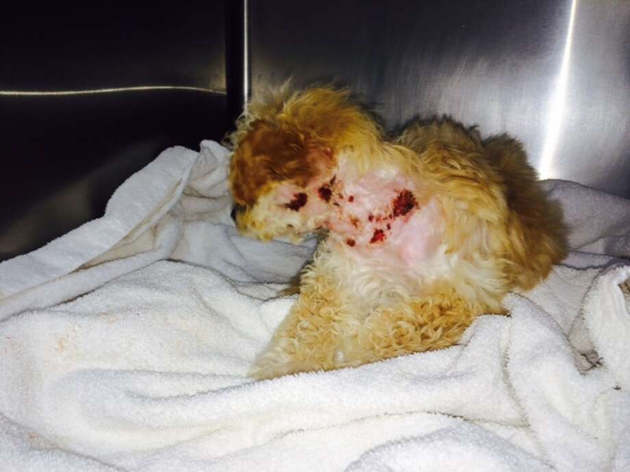 A 10-week-old female apricot poodle puppy, dubbed Gem, was found severely injured on a conveyor belt at the dump in San Francisco on Sunday Dec., 22. Animal Care and Control said the puppy was conscious and alert when discovered by Recology staff. Photo: Courtesy, Animal Care & Control / ONLINE_YES