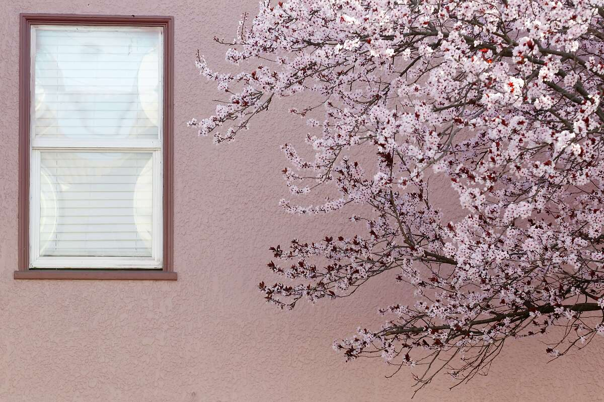 A tree blossoms early in Bernal Heights on Thursday, January 30, 2014 in San Francisco, Calif.