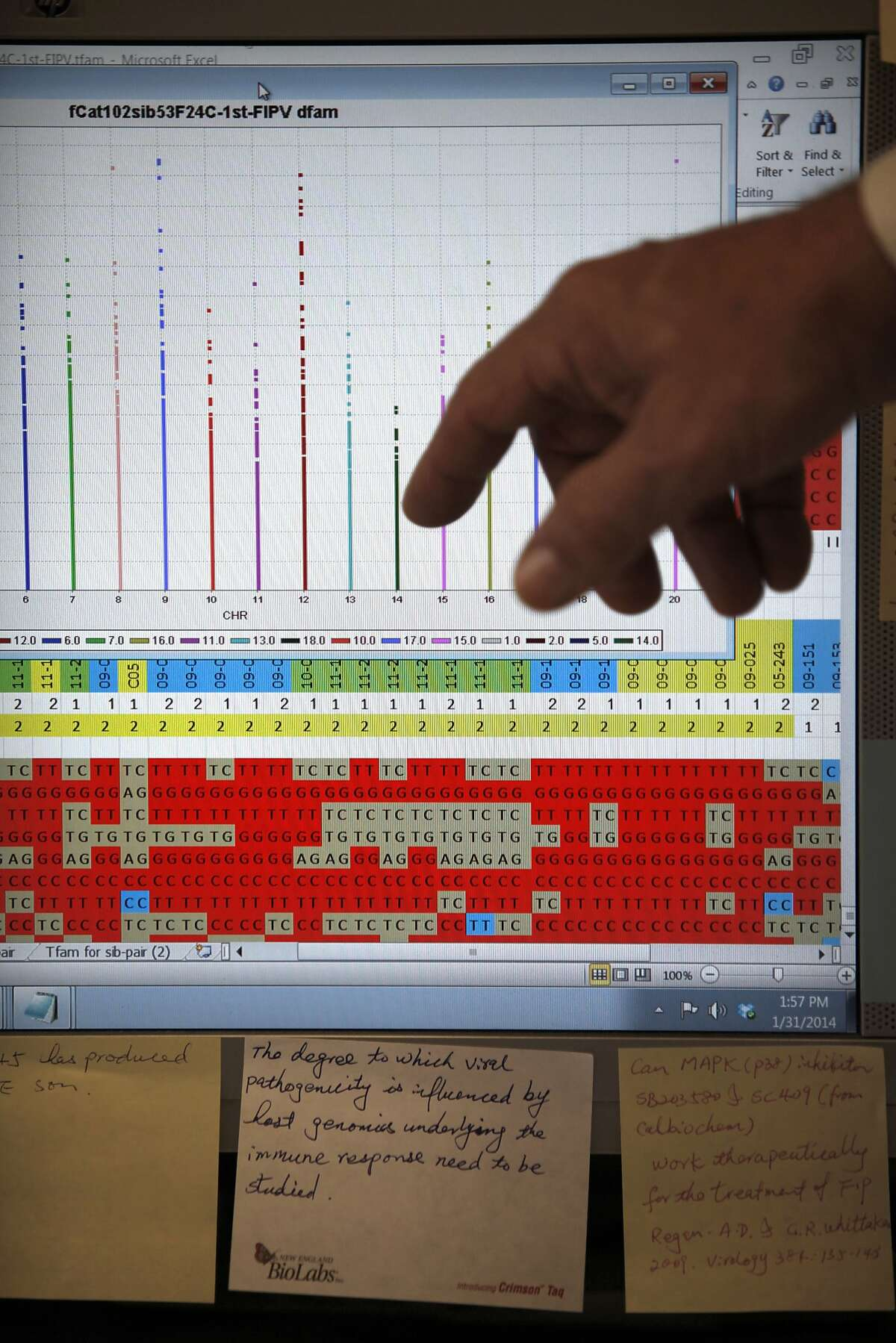 Dr Niels Pedersen shows his study of a hundred cats identifying the genetic association to disease resistance on a computer at his lab on the UC Davis campus in Davis, Calif., on Friday, January 31, 2014. He is presently doing a study on feline infectious peritonitis.