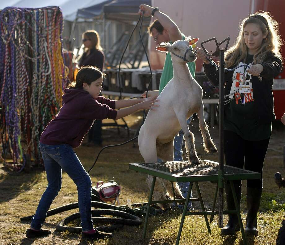Celeste Villarreal,9, helped her sister Cassie Villarreal who is a senior at Harlingen South, get a lamb named Brave on a grooming table at the Los Fresnos Livestock show, Friday, Jan. 31, 2014 in Los Fresnos, Texas. (AP Photo/The Brownsville Herald, Brad Doherty) Photo: Brad Doherty, Associated Press