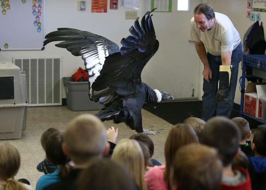 Joe Krathwohl watches as an Andean Condor named Queen Victoria hops towards him for a treat in a fourth-grade classroom at Veneta Elementary School in Veneta, Ore. on Friday, Jan. 31, 2014. The students, who have been studying birds, were chosen to host a special visit from Krathwohl, who has dedicated his life to helping these huge endangered birds. Along with his eagle, cranes, falcons, pelicans, and numerous other birds, Joe currently has five condors at his facility outside of Las Vegas. His mission is to breed condors for release into the wild. Queen Victoria, who sports a 10-foot wingspan, will be at the Eugene Boat & Sportsmen's Show  throughout the weekend at the Lane Events Center. (AP Photo/The Register-Guard, Brian Davies) Photo: Brian Davies, Associated Press