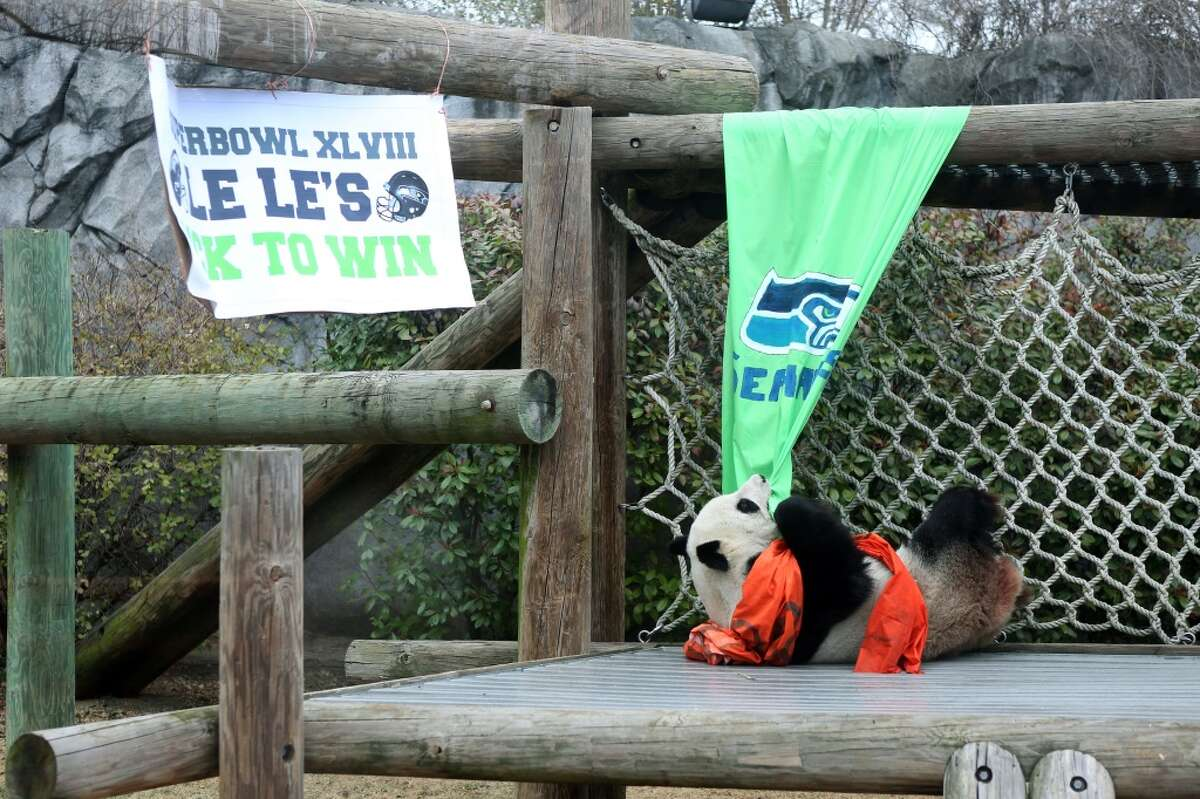 FILE PHOTO: Le Le tries to rip down a Seattle Seahawks banner after choosing the Denver Broncos as her Super Bowl pick Friday, Jan. 31, 2014. this year she chose the Panthers.