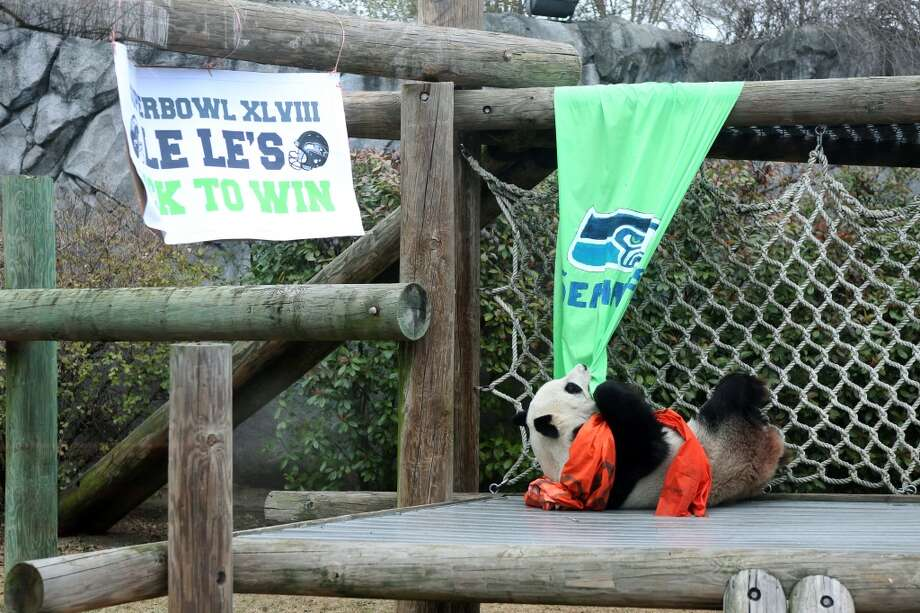 Panda Le Le tries to rip down a Seattle Seahawks banner after choosing the Denver Broncos as her Super Bowl pick Friday, Jan. 31, 2014 at the Memphis Zoo in Memphis, Tenn. (AP Photo/The Commercial Appeal, Yalonda M. James) Photo: AP