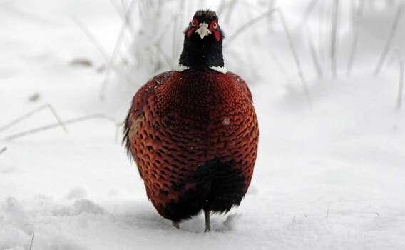 PheasantPanhandle: Dec. 6-Jan. 4,2015 Photo: Matt Cardy, Getty Images / 2012 Getty Images