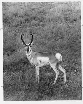 Pronghorn AntelopeOct. 4-12 Photo: Shannon Tompkins / HOUSTON CHRONICLE