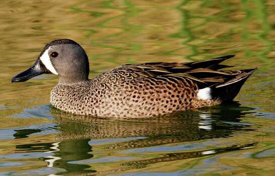 TealEarly Teal only:Statewide: Sept. 13-28 Photo: Picasa