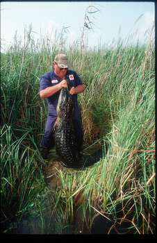 Hunter Randy Riley holds a dead alligator in a marsh area during Gatorfest September 16, 1991 in Anahuac. Photo: Paul S. Howell, Getty Images
