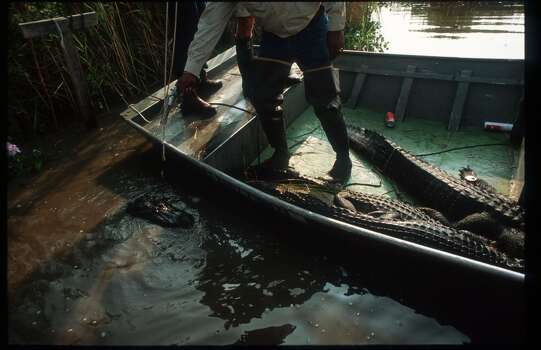 A hunter shoots an alligator caught on a hook with meat during Gatorfest September 16, 1991 in Anahuac. Photo: Paul S. Howell, Getty Images