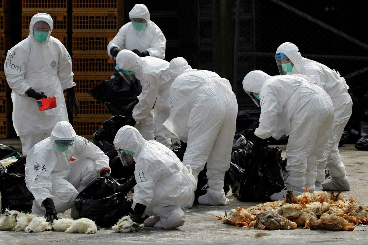 Health workers in full protective gear pick up killed chickens in plastic bags after suffocated them by using carbon dioxide at a wholesale poultry market in Hong Kong, Tuesday, Jan. 28, 2014. Hong Kong authorities began culling 20,000 birds at a wholesale market after poultry from southern mainland China tested positive for the H7N9 virus, the first time it had been found in imported poultry in Hong Kong.