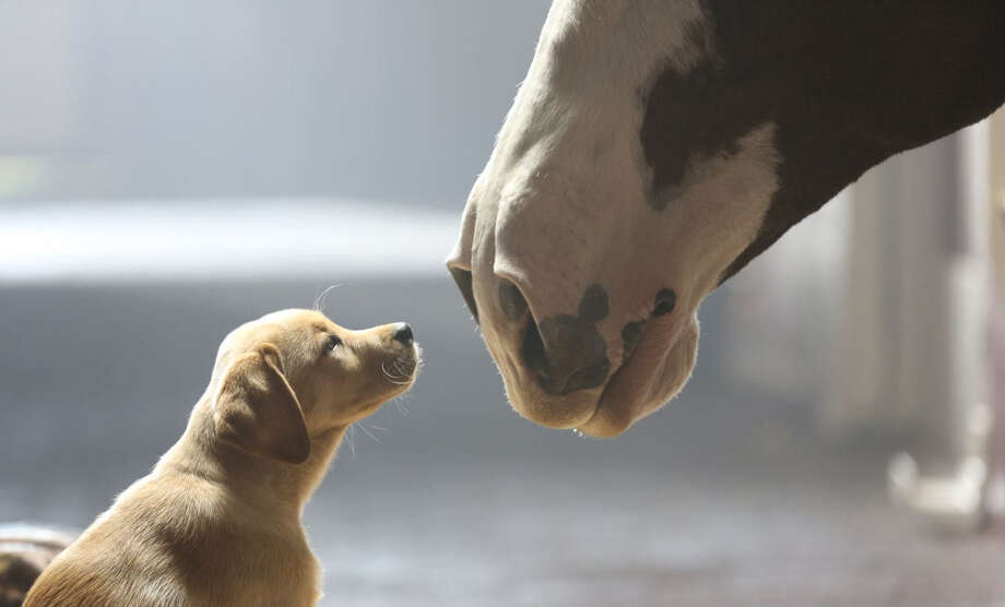 "Anheuser-Busch tugged at viewers' heartstrings with the touching sequel ""Puppy Love."" Makes us wonder, what will next year bring? Photo: Anheuser-Busch / Anheuser-Busch"