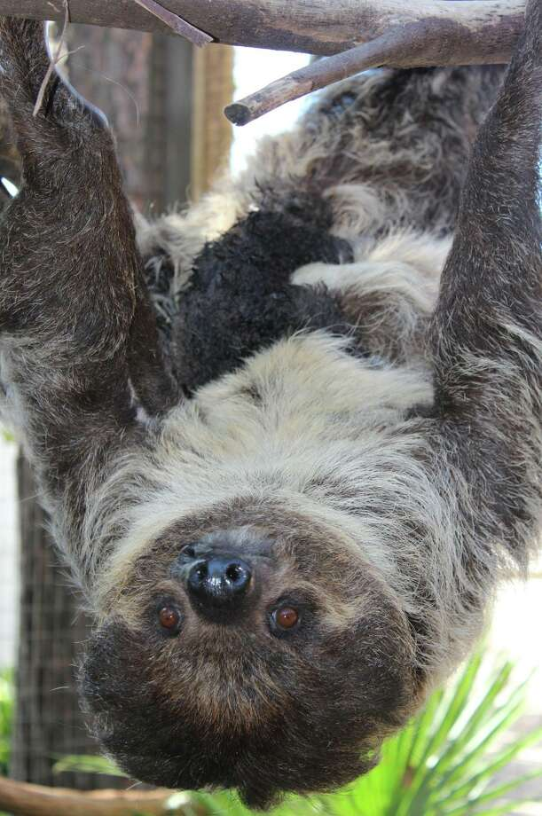 Baby Linne's Two-toed Sloth Photo: Courtesy Of The Ellen Trout Zoo, Courtesy Of Celia Falzone Of The Ellen Trout Zoo