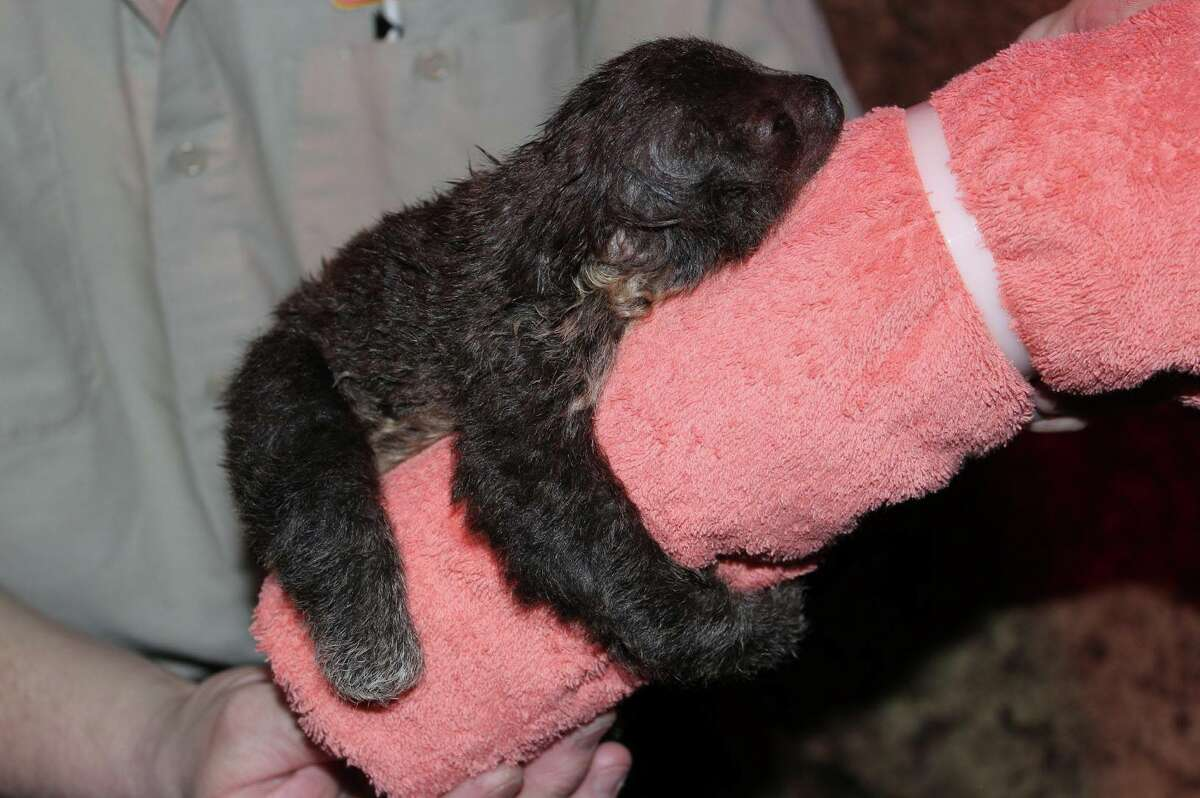 Baby Linne's Two-toed Sloth