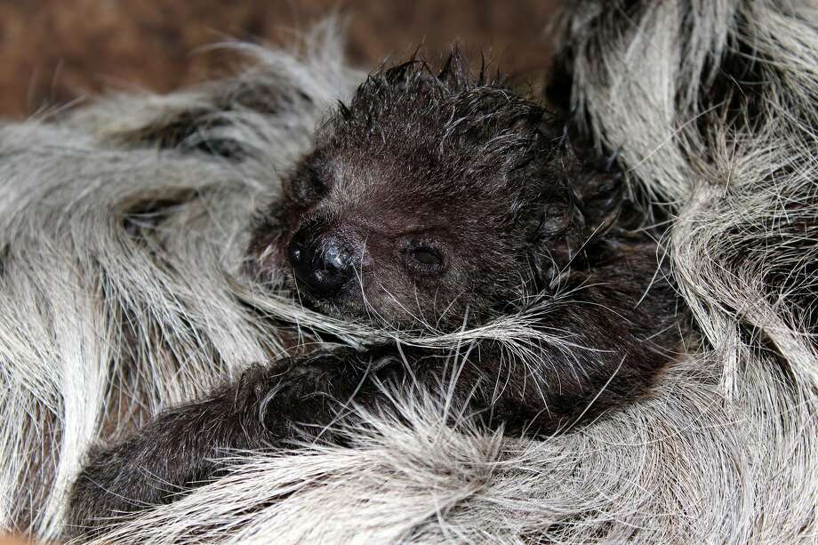 11-day old Linne's Two-toed Sloth Photo: Courtesy Of The Ellen Trout Zoo, Courtesy Of Celia Falzone Of The Ellen Trout Zoo