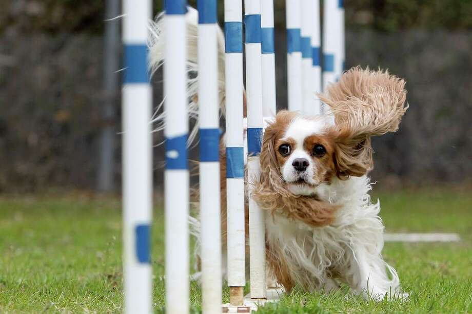 Lizzie, a 6-year-old Cavalier King Charles Spaniel owned by Norm Williams, runs through weave poles at the Rob Cary Pet Resort, 14824 Bulverde Rd, on Thursday, Jan. 30, 2014.  Lizzie is one of four dogs from Texas that qualified for the agility trials at the Westminster Dog Show on Feb. 8.  Photo by Marvin Pfeiffer / Prime Time Newspapers Photo: MARVIN PFEIFFER, Marvin Pfeiffer / Prime Time New / Prime Time Newspapers 2014