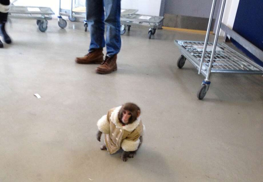 "The ""IKEA monkey"" in 2012. Photo: Bronwyn Page, Associated Press"