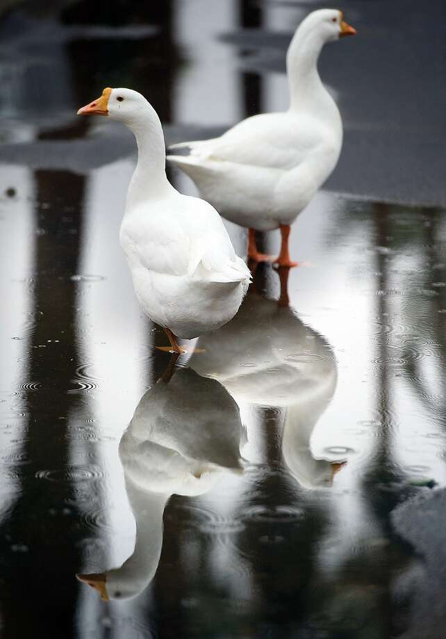 Soggy quackers:A pair of ducks geese wet their feet in a puddle in Porterville, Calif., during a light 