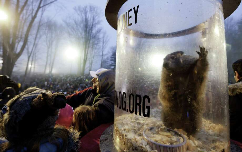 PUNXSUTAWNEY, PA - FEBRUARY 2:  Punxsutawney Phil relaxes in his cage after he saw his shadow predicting six more weeks of winter during 128th annual Groundhog Day festivities on February 2, 2014 in Punxsutawney, Pennsylvania. Groundhog Day is a popular tradition in the United States and Canada. A smaller than usual crowd this year of less than 25,000 people spent a night of revelry awaiting the sunrise and the groundhog's exit from his winter den. If Punxsutawney Phil sees his shadow he regards it as an omen of six more weeks of bad weather and returns to his den. Early spring arrives if he does not see his shadow, causing Phil to remain above ground. (Photo by Jeff Swensen/Getty Images) ORG XMIT: 463533695 Photo: Jeff Swensen, Getty / 2014 Getty Images