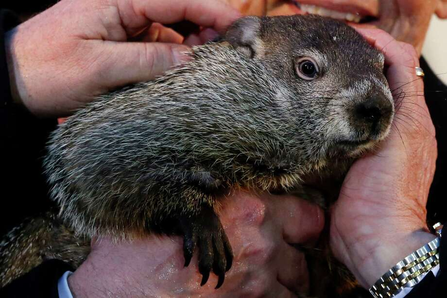 Punxsutawney Phil is held by Ron Ploucha after emerging from his burrow Sunday, Feb. 2, 2014, on Gobblers Knob in Punxsutawney, Pa., to see his shadow and forecast six more weeks of winter weather. The prediction this year fell on the same day as Super Bowl Sunday.  (AP Photo/Gene J. Puskar) ORG XMIT: PAGP104 Photo: Gene J. Puskar, AP / AP