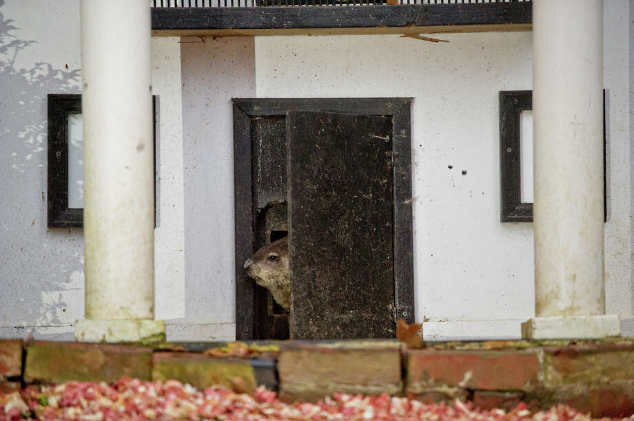 General Beauregard Lee pokes his head out of the front door to his enclosure at the Yellow River Game Ranch in Lilburn, Ga., Sunday, Feb. 2, 2014. The famous groundhog, according to officials, did not see his shadow this year heralding in an early spring. Beau has had a 93  percent success rate in the past for correctly predicting the coming next few weeks. (AP Photo/Atlanta Journal-Constitution, Jonathan Phillips)  MARIETTA DAILY OUT; GWINNETT DAILY POST OUT; LOCAL TV OUT; WXIA-TV OUT; WGCL-TV OUT ORG XMIT: GAATJ104 Photo: Jonathan Phillips, AP / Atlanta Journal-Constitution