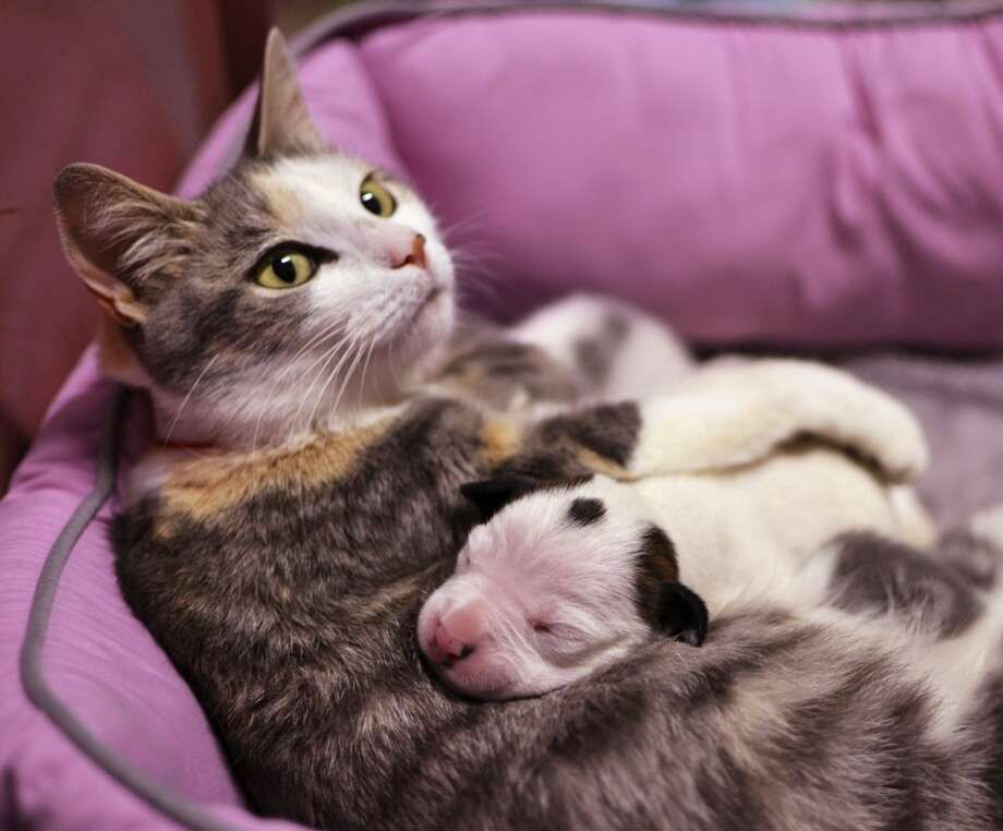 This kitten is ... wait a minute, that's not a kitten! (Mama Lurleen was already caring for four newborn kittens and added an orphaned week-old pit bull puppy to her litter.) Photo: Associated Press
