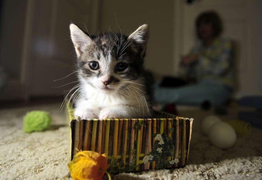 This kitten is ready for nap time. Aren't we all? Photo: Josh Edelson, Special To The Chronicle