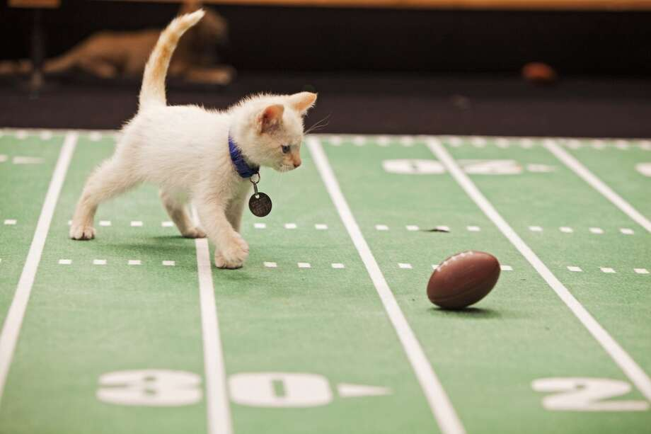 This kitten likes futbol better than football, but she'll be a good sport and play along. Photo: Monique Toro, Associated Press