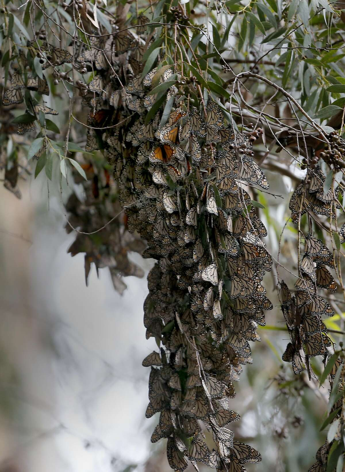 Clusters of Monarch butterflies cling to a blooming eucalyptus tree at the Natural Bridges State Beach Sunday February 2, 2014 in Santa Cruz, Calif.