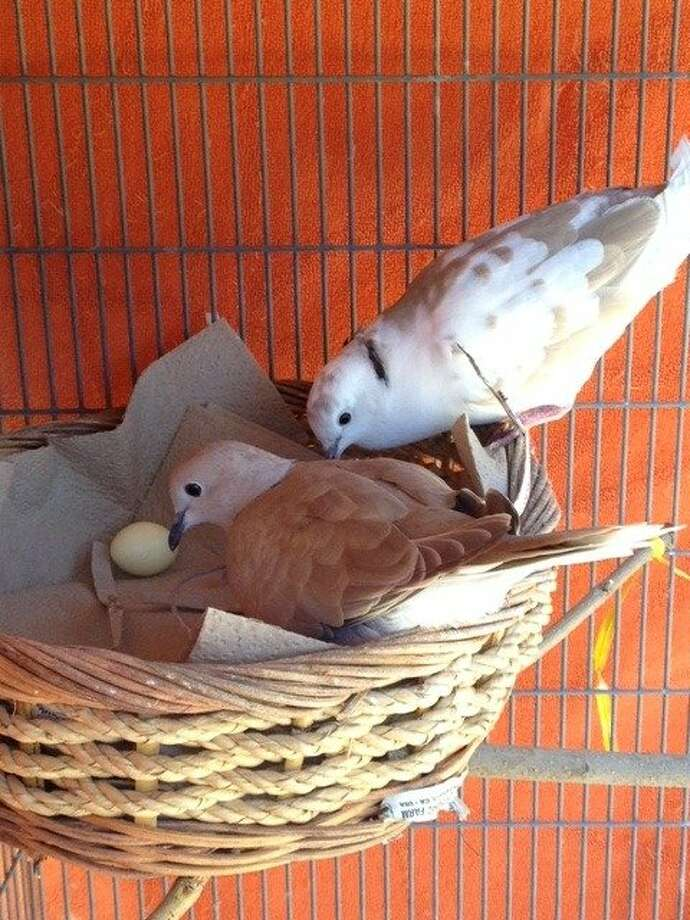 Neela and Sandpiper, above, became such beloved pets that the Tengan family bought an outdoor aviary. Photo: Tania Tengan
