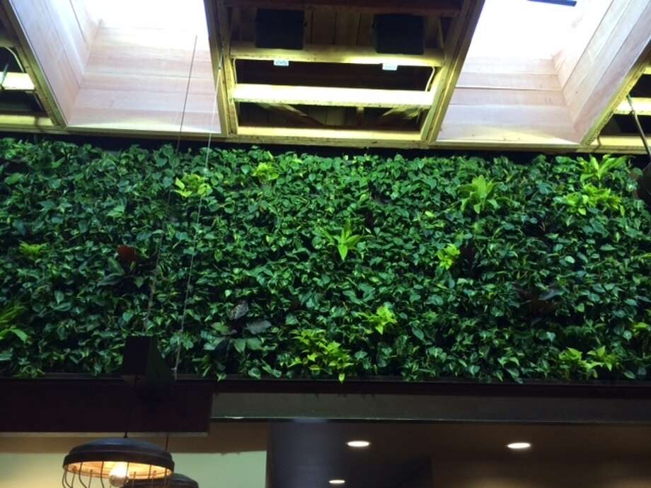 Living wall in the new Peet's on Chestnut. The Chronicle/Sam Whiting