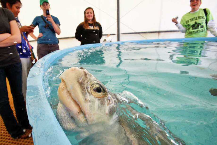A Kemp's ridley sea turtle peeks out of a pool at the Sea Turtle Research Laboratory in Galveston in 2011. Adult Kemp's ridleys weigh around 100 pounds.   The 19 years-old female turtle weighed approximately 80lbs and measured 63cm long by 61cm wide.  It was found 3miles north of San Luis Pass around noon and 121 eggs were recovered from her nest.  The turtle will later be returned to her natural habitat to help collect data on sea turtle activity.  ( Michael Paulsen / Houston Chronicle ) Photo: Michael Paulsen, Staff / © 2011 Houston Chronicle