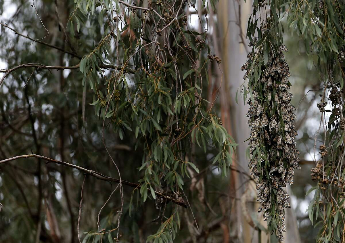 A cluster of Monarch butterflies (right) hangs on the branches of a eucalyptus tree in bloom at Natural Bridges State Beach Sunday February 2, 2014 in Santa Cruz, Calif.
