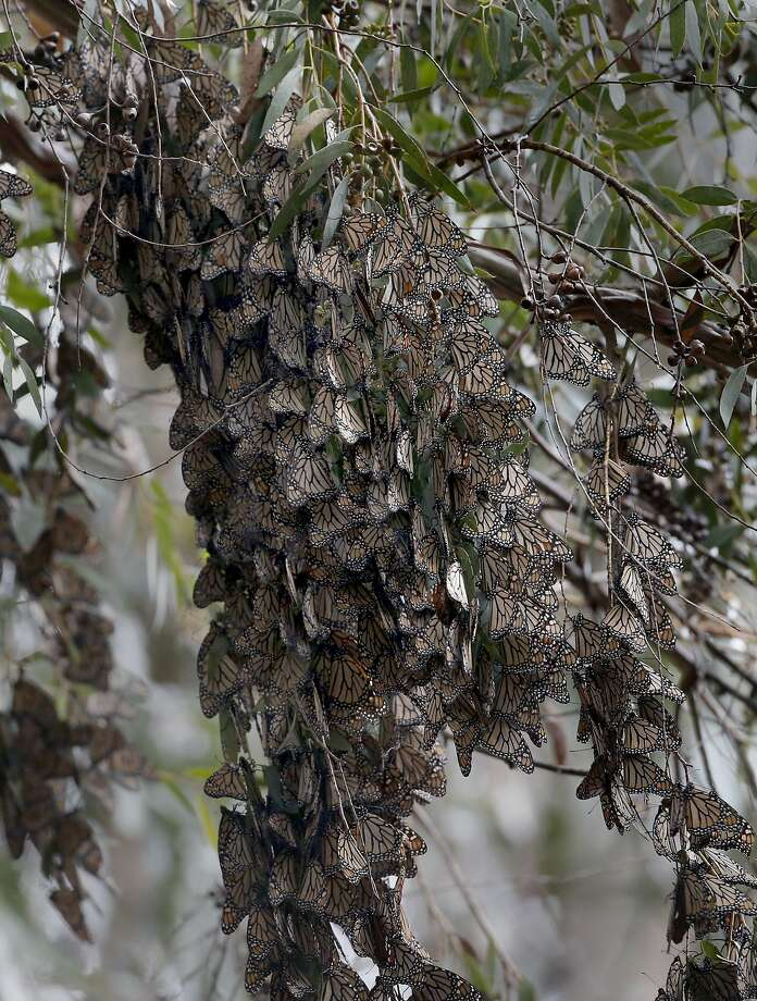 A cluster of Monarch butterflies hang on a blooming eucalyptus tree at the Natural Bridges State Beach Sunday February 2, 2014 in Santa Cruz, Calif. Photo: Brant Ward, The Chronicle