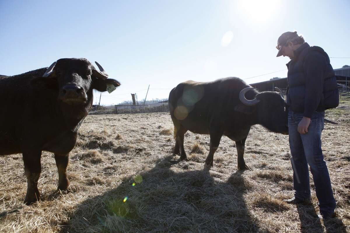 Andrew Zlot pets a water buffalo as he checks on a group of pregnant females at his farm Double 8 Dairy in Petaluma, CA, Wednesday, January 22, 2014.