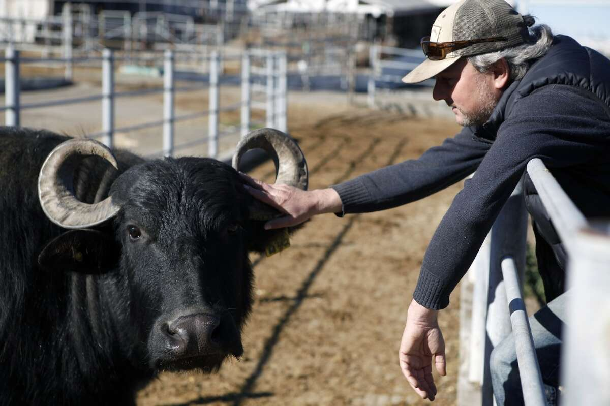 Owner Andrew Zlot pets one of his water buffalo that are used for producing mozzarella and gelato at his farm Double 8 Dairy in Petaluma, CA, Wednesday, January 22, 2014.