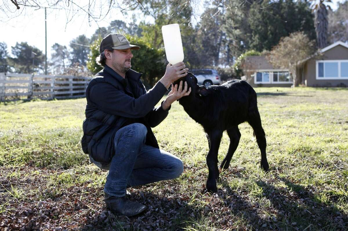 Owner Andrew Zlot poses for a portrait while bottle feeding a young water buffalo calf named Angelina at Double 8 Dairy in Petaluma, CA, Wednesday, January 22, 2014.