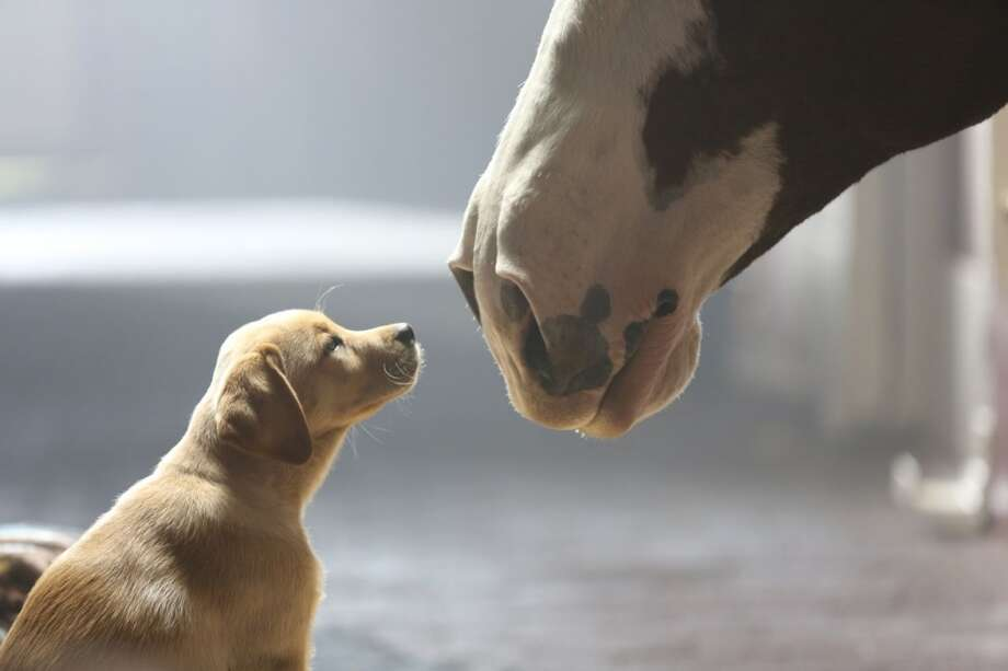 "This undated frame grab provided by Anheuser-Busch showed the company's 2014 Super Bowl commercial entitled"" ""Puppy Love"""". The ad ran in the fourth quarter of the game. (AP Photo/Anheuser-Busch) Photo: Associated Press"