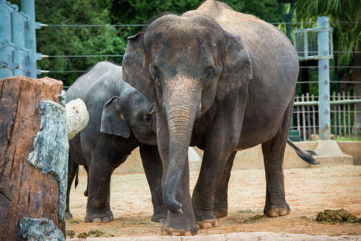 Shanti with other members of the herd munching down on hay in the yard at the McNair Asian Elephant Habitat (Houston Zoo) / © Houston Zoo/Stephanie Adams