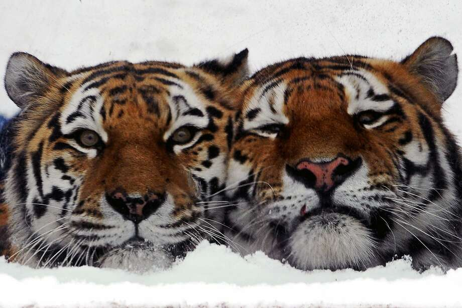 Happy (left) and Grumpy:Amur tigers nuzzle in their cage at the Leningrad Zoo in St. Petersburg, Russia. Photo: Olga Maltsevaolga, AFP/Getty Images