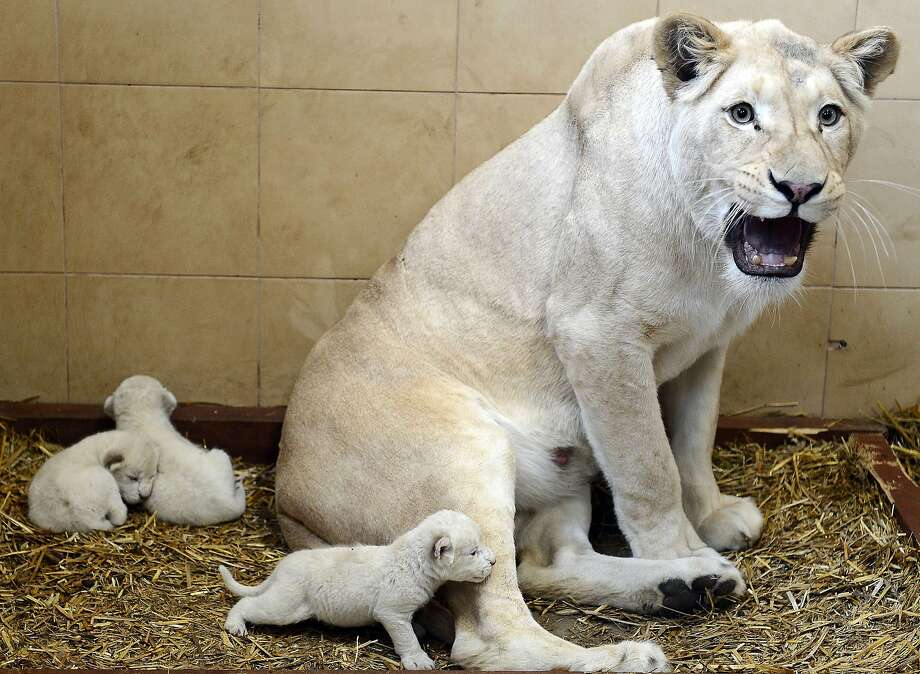 Little white lions: With a warning growl, Azira guards her brood at the privately owned zoo of Andrzej Pabich in Boryszew, Poland. The 