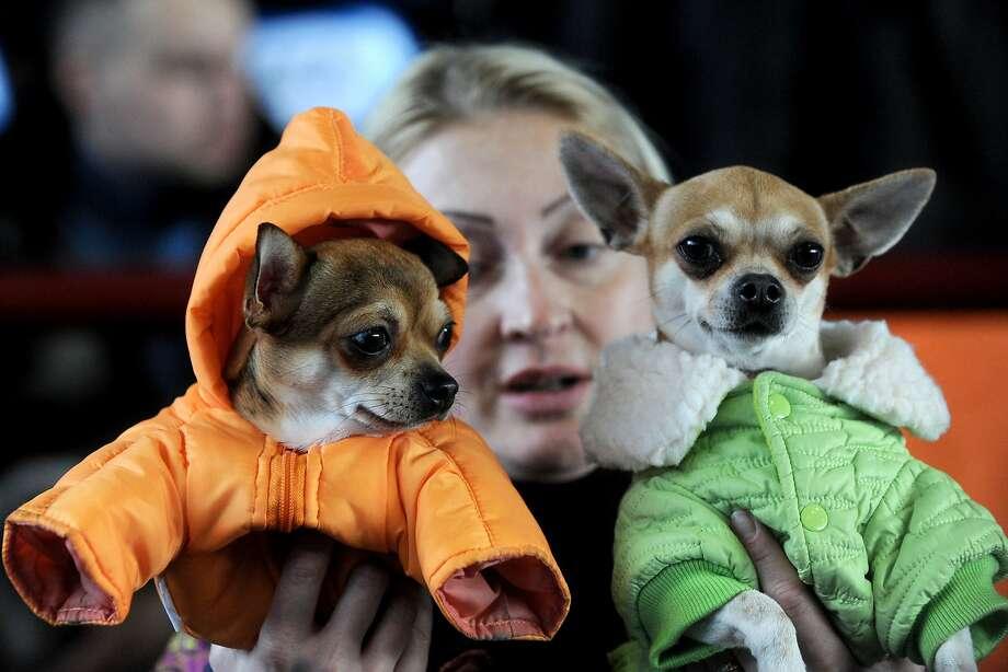 Do you prefer orange or lemon-lime? A dog lover shows off her parka pooches at an international dog exhibition in   Minsk. Photo: Viktor Drachev, AFP/Getty Images