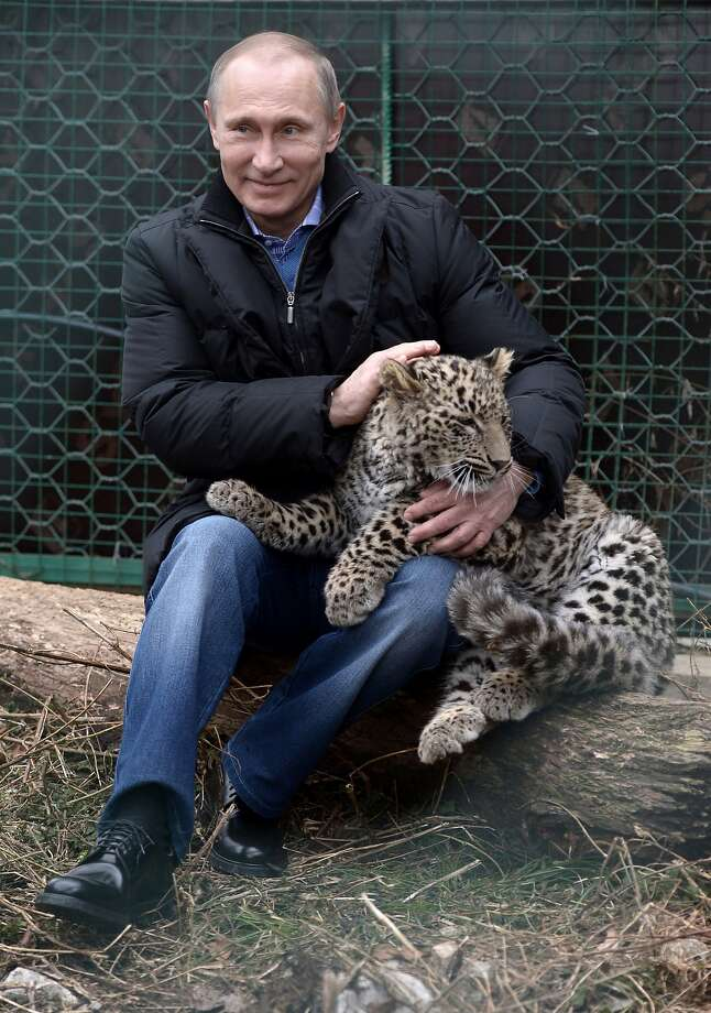 Just an old softy: Russian President Vladimir Putin shows his lovable side by petting a snow leopard cub at a sanctuary for the endangered cats in the Russian Black Sea resort of Sochi. Photo: Alexei Nikolsky, Associated Press