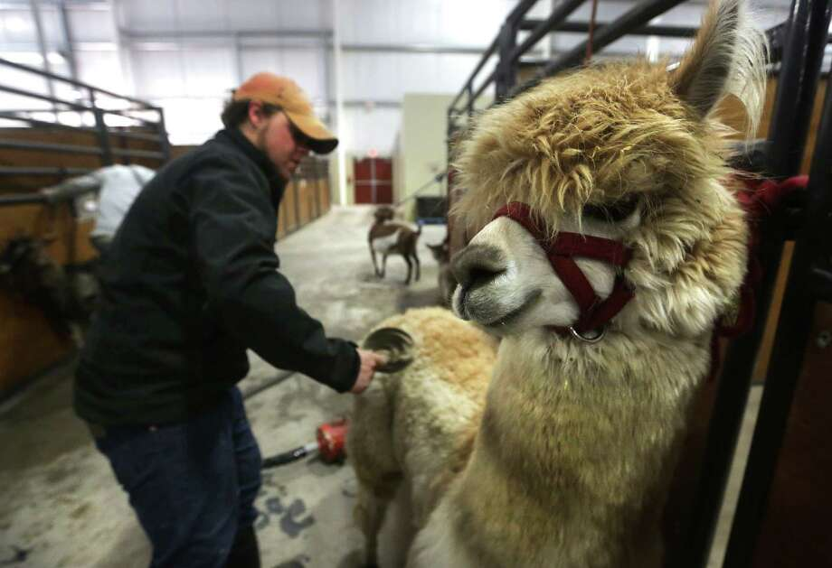 Jacob Heigl of the Great American Petting Zoo, brushes an alpaca before bathing it, getting ready for the opening of The San Antonio Stock Show and Rodeo on Thursday.  Tuesday, Feb. 4, 2014. Photo: BOB OWEN, San Antonio Express-News / © 2012 San Antonio Express-News