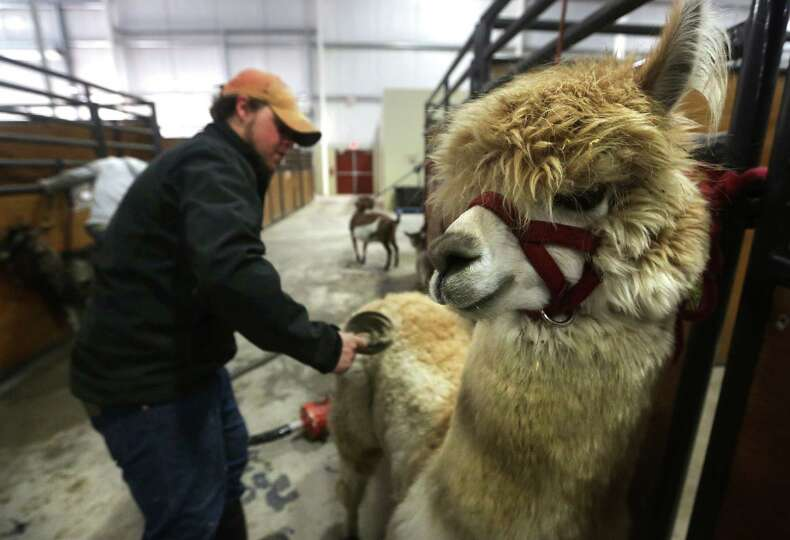 Jacob Heigl of the Great American Petting Zoo, brushes an alpaca before bathing it, getting ready fo