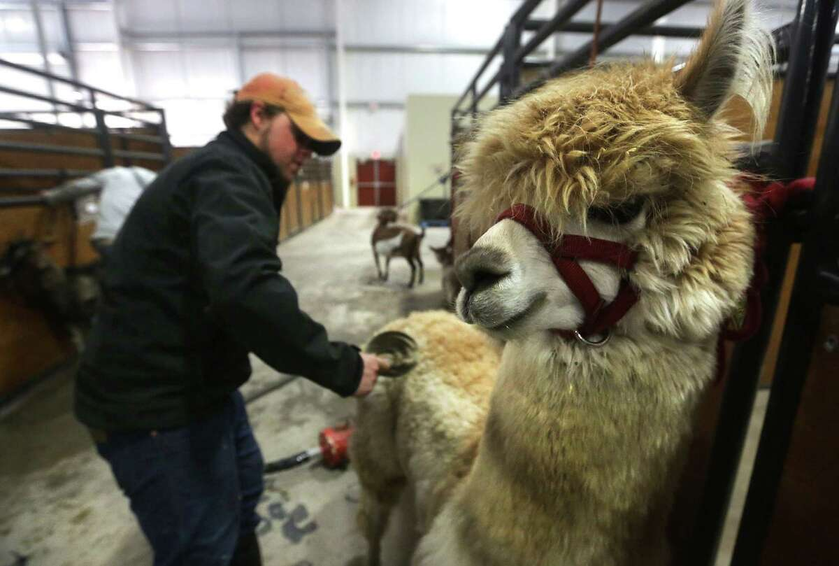 Jacob Heigl of the Great American Petting Zoo, brushes an alpaca before bathing it, getting the animal ready for the opening of the Stock Show & Rodeo on Thursday.